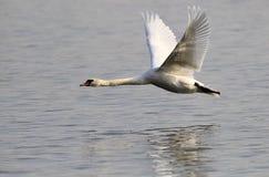 Volo muto del cigno Fotografie Stock