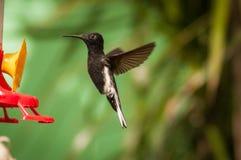 Volo nero del colibrì Immagini Stock Libere da Diritti