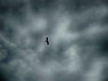 Volo nero del falco sotto la tempesta della pioggia Immagini Stock