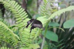Volo nero delle farfalle Fotografie Stock