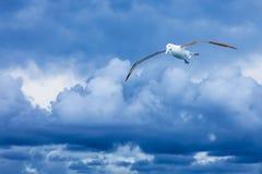 Volo reale dell'albatro contro le nuvole blu drammatiche Fotografia Stock