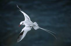 volo Rosso-fatturato di Tropicbird sopra la vista elevata mare Fotografia Stock Libera da Diritti
