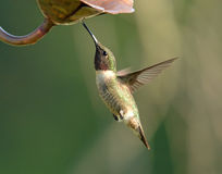 Volo Rubino-Throated del colibrì all'alimentatore fotografia stock