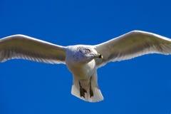 Volo scivolante del piccione davanti all'isola profonda di libertà del cielo blu Fotografia Stock