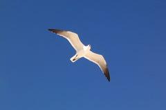 Uccello del gabbiano in volo fotografia stock libera da diritti