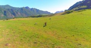 Volo sopra il gregge dei cavalli selvaggii sul prato Natura selvaggia delle montagne della primavera Concetto di ecologia di libe archivi video