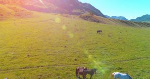 Volo sopra il gregge dei cavalli selvaggii sul prato Natura selvaggia delle montagne della primavera Concetto di ecologia di libe video d archivio