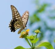 Volo variopinto della farfalla dello swallowtail Immagini Stock