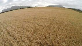 Volo veloce più sopra i campi di grano - volo aereo, Mallorca stock footage