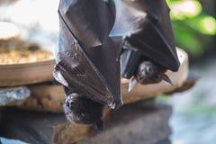 Volo-volpi nere Fotografia Stock Libera da Diritti