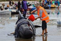 Volontario di Giona di progetto che tende una balena pilota incagliata sullo sputo d'addio, Nuova Zelanda immagini stock libere da diritti