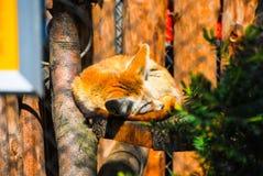 Volpe arrugginita che dorme su un albero Fotografia Stock