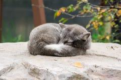 Volpe artica ( Vulpes lagopus) dormendo sulla roccia fotografia stock