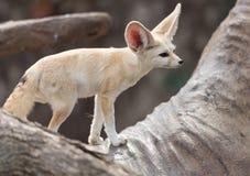 volpe Blocco-eared Fotografia Stock Libera da Diritti