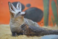 volpe Blocco-eared Fotografia Stock