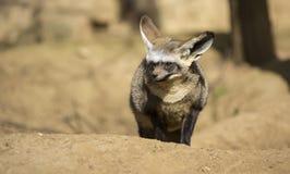 volpe Blocco-eared (megalotis di Otocyon) Immagine Stock Libera da Diritti