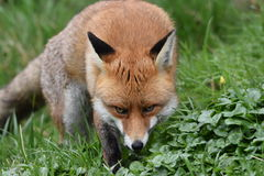 Volpe britannica rossa adulta Immagini Stock