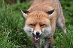 Volpe britannica rossa adulta Fotografia Stock Libera da Diritti