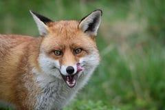 Volpe britannica rossa adulta Fotografie Stock