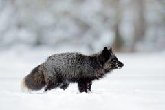 Volpe d'argento nera, forma rara Animale nero in neve bianca Scena di inverno con il mammifero sveglio piacevole fotografia stock libera da diritti