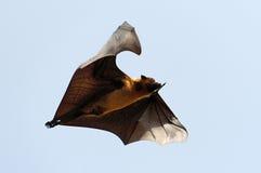 Volpe di volo Fotografia Stock