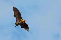 Volpe di volo, pipistrello enorme, contro cielo blu Fotografia Stock Libera da Diritti