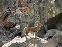 Volpe grigia sudamericana nella montagna delle Ande Fotografie Stock Libere da Diritti