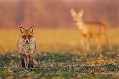 Volpe maschio, vulpes di vulpes, stanti sul campo e guardanti, caprioli, capreolus del capreolus, daina che cammina nel immagini stock