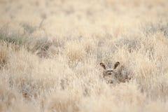 volpe Pipistrello-eared che cammuffa nel cespuglio del deserto vicino a Sossusvlei, Namibia fotografia stock libera da diritti
