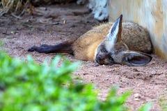 Volpe pipistrello-eared stanca o megalotis di Otocyon Fotografie Stock