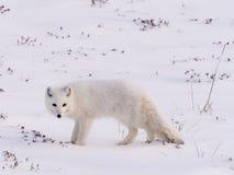 Volpe polare artica Fotografie Stock Libere da Diritti