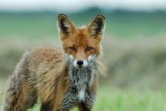 Volpe rossa che assomiglia ad un cacciatore reale Fotografia Stock Libera da Diritti