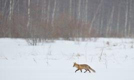 Volpe rossa che cammina attraverso la neve Immagini Stock Libere da Diritti