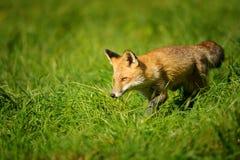 Volpe rossa che cammina nell'erba verde immagini stock