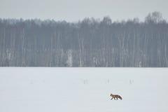 Volpe rossa che cammina sopra il campo Immagini Stock
