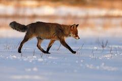 Volpe rossa che cammina sulla neve congelata Immagini Stock