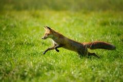 Volpe rossa che salta e che corre nell'erba verde immagini stock