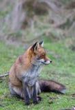 Volpe rossa comune di Fox Fotografie Stock Libere da Diritti