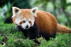 Volpe rossa del fuoco o del panda Fotografie Stock