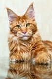 Volpe rossa del gatto di procione lavatore della Maine che posa sulla riflessione di specchio Immagine Stock