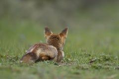 Volpe rossa del piccolo cub Fotografie Stock