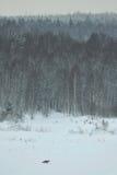 Volpe rossa nel campo Fotografia Stock