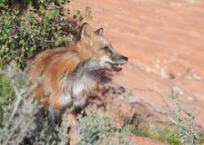 Volpe rossa nel deserto dell'Utah del sud Fotografia Stock
