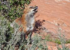 Volpe rossa nel deserto dell'Utah del sud fotografie stock