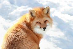 Volpe rossa in neve Immagini Stock