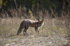 Volpe rossa selvaggia sul prato Fotografia Stock