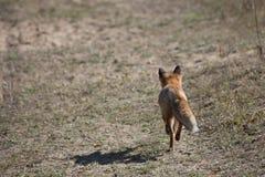 Volpe rossa selvaggia sul prato Fotografie Stock
