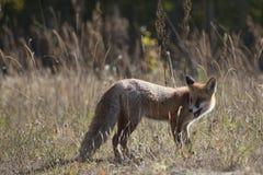 Volpe rossa selvaggia sul prato Fotografie Stock Libere da Diritti