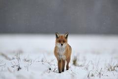 Volpe rossa sulla neve Fotografie Stock Libere da Diritti