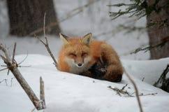 Volpe rossa in una regolazione di inverno Fotografia Stock